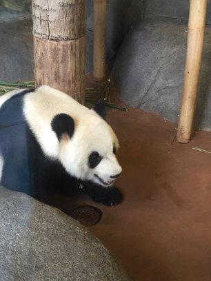 15 memphis zoo panda 1