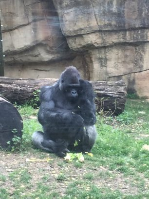 19 zoo gorilla